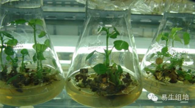 植物组织培养技术应用